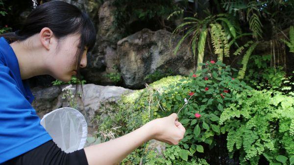 ツシマウラボシシジミは枝に止まって交尾をする=2019年4月15日、東京都足立区の足立区生物園、竹谷俊之撮影