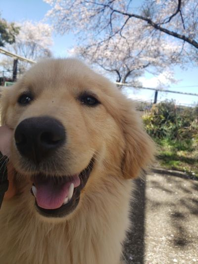 保護された犬のうちの1頭「でん」は、ショーで活躍する犬として特訓を受けています