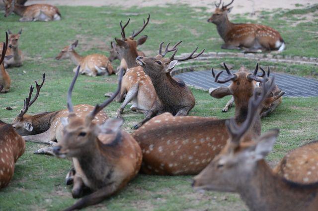 奈良国立博物館の換気口(右奥)の周辺に集まって休息する鹿=2017年