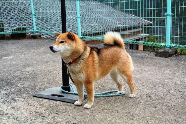 市原悦子さん演じる椎葉スマの飼い犬・ゴンとして映画に登場したシバイヌのチョコ=宮崎県椎葉村