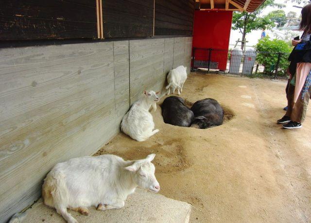 シバヤギやミニブタがいるスペースの様子。来園者は自由に出入りし、動物に触れることが出来る。