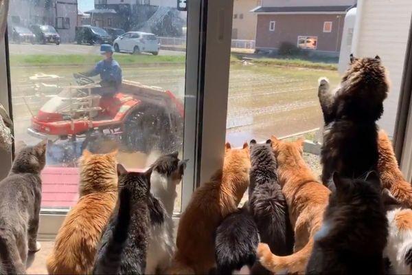 田植えを見つける猫たち