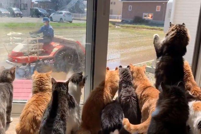 田植えを見つめる猫たち
