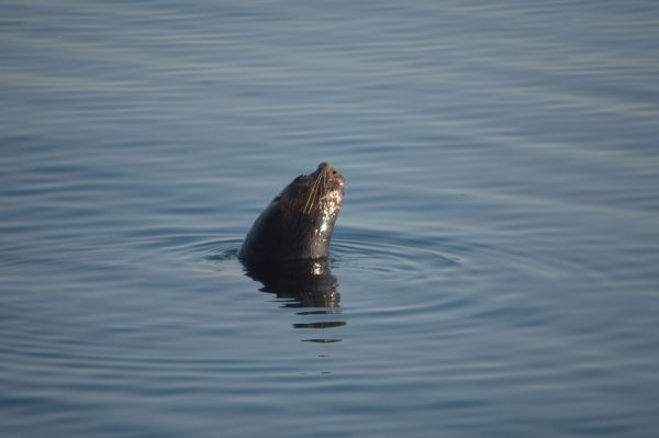 2016年7月に「ビザなし交流」の一員として択捉島へ。上陸を控えた早朝、トドとみられる動物が海面からぬっと=内岡湾の船上から