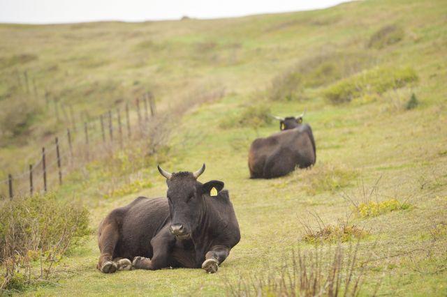 放牧により肥育される牛