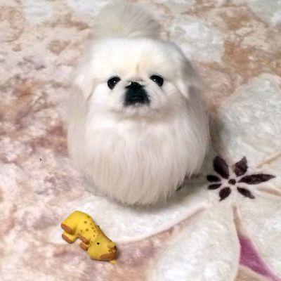 ペキニーズという犬種のマロンくん