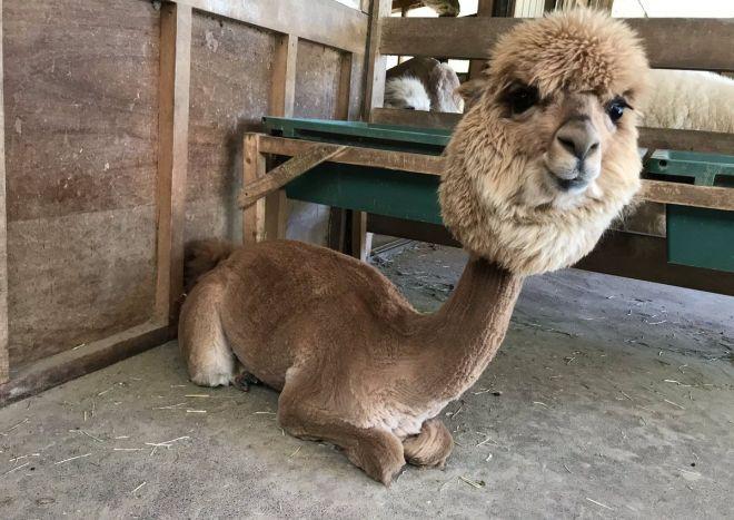 毛刈りを終えたアルパカ