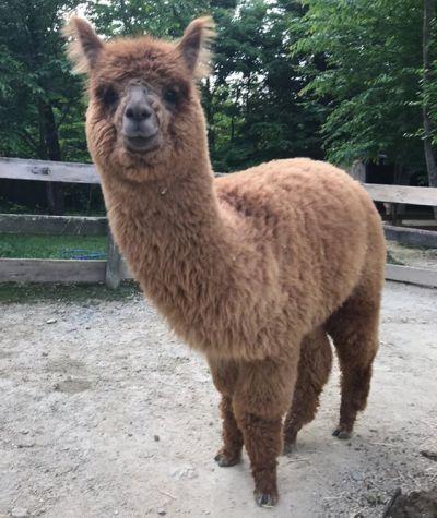 毛刈りをする前のアルパカ