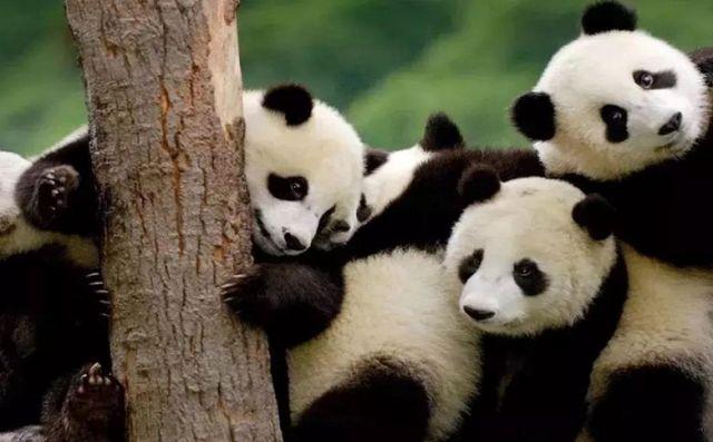 パンダ楽園のパンダたち