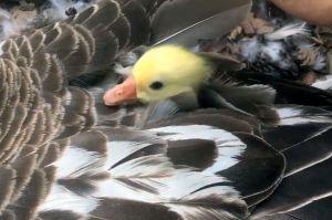 ガチョウのヒナが「かくれんぼ」 おばあちゃん鳥の子育て動画が話題