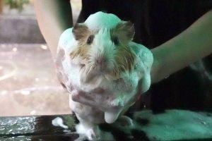モフモフ140頭、一斉シャンプーだ! モルモットを洗って乾かす動画