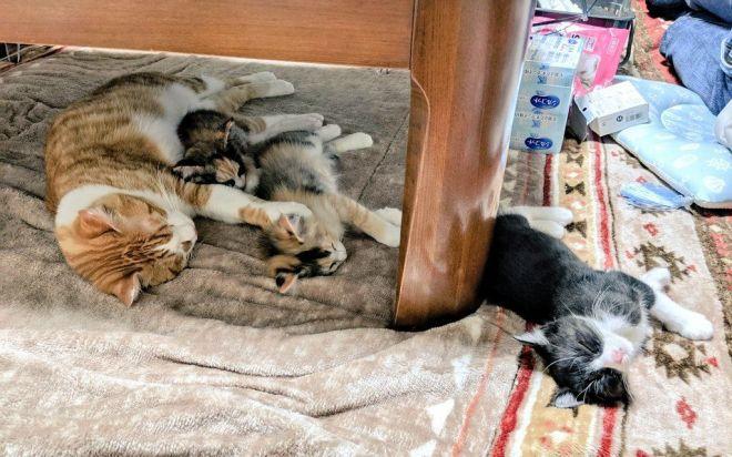 「川の字」になって眠る猫3匹。実はすぐ近くでもう1匹の子猫「ミトン」が寝ていました