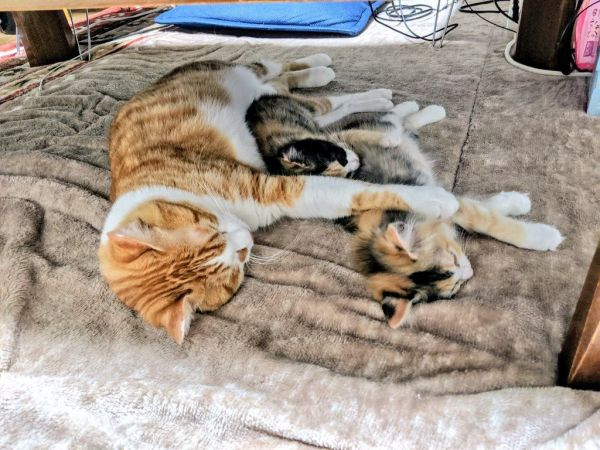 「川の字」になって眠る猫3匹