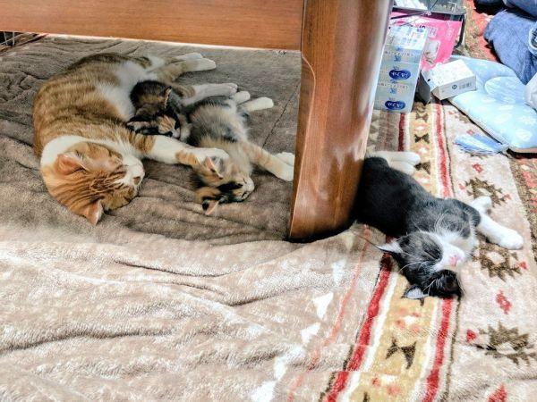 「川の字」になって眠る猫3匹。実はすぐ近くでもう1匹寝てました