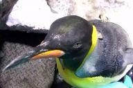 大きくなっても甘えん坊なオウサマペンギン。海遊館ではそれぞれに名前をつけないため、「241」と個体番号で呼ばれています