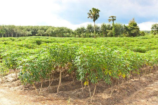 キャッサバの畑