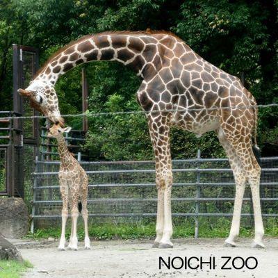 6月11日生まれのオスのキリン(左)。名前は現在募集中です