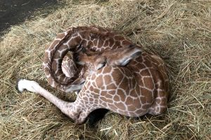 キリンがヨガしてる! 生後1カ月、首をグルッと曲げた寝姿が話題に