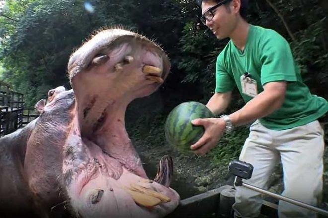 スイカを食べるカバ