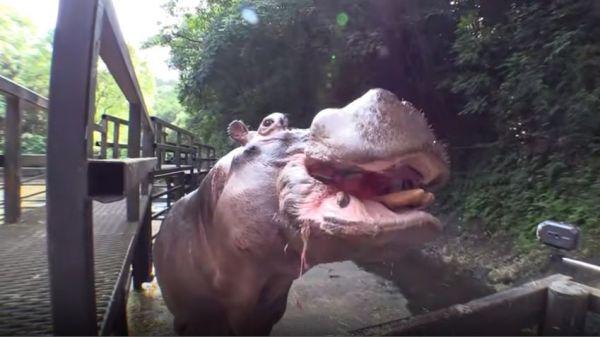 スイカを食べる長崎バイオパークのカバ