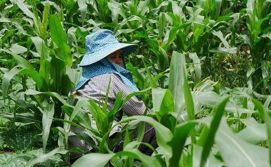 パイナップル畑で働くウィーチュー・ムーコーさん。たくさんの人が畑のそばを通るけれど、話すことはほとんどない=2019年7月、タイ北部メーサイ