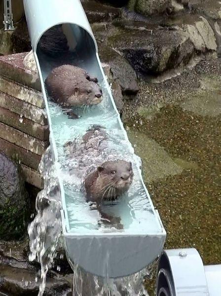 2013年6月、水しぶきをあげて泳ぐコツメカワウソ