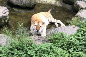 しょんぼり顔のトラ、水浴びしたかったな… 掃除後の池で撮影の1枚