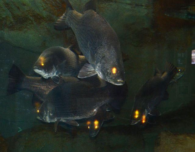 四万十川学遊館で飼育されている四万十川の巨大魚アカメ。四万十川の汽水域を代表する魚だ=四万十市具同の四万十川学遊館、2012年