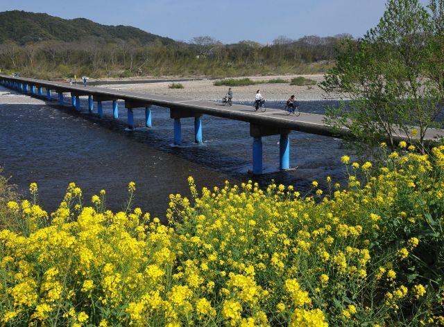 咲き誇る菜の花に彩られた四万十川に架かる沈下橋=2015年