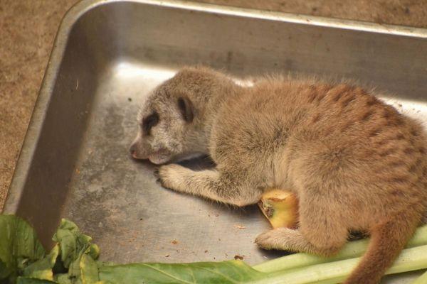 えさやりバットの上で眠るミーアキャットの赤ちゃん