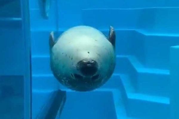 「魚雷みたい」と話題のゴマフアザラシのクー