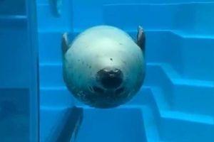 魚雷みたいなアザラシ! 逆さのままスーッと接近、泳ぎ方が可愛すぎ