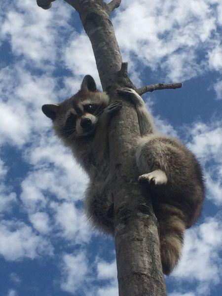 木登りするカルー