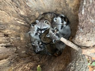 森きららのアライグマたち