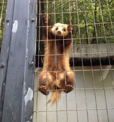 盛岡市動物公園のアナグマ