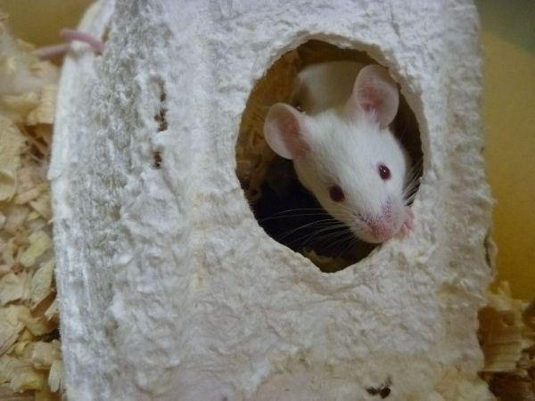 ハウスから顔を出すマウス