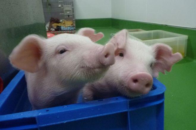 お風呂に入る実験動物の家畜子ブタ=末田さん提供