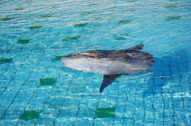 水面で横たわるマンボウ