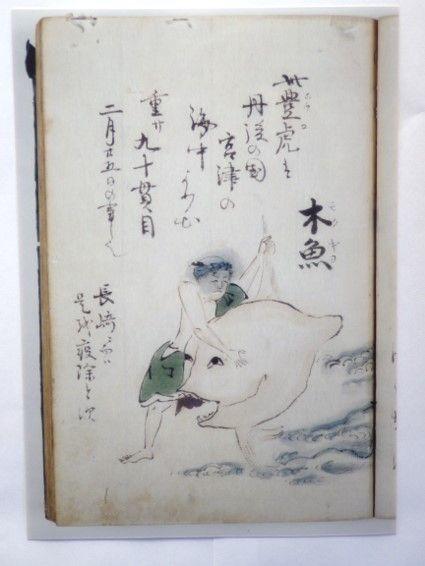 「まめなくさ」(西尾市岩瀬文庫所蔵)に描かれている日本最古のヤリマンボウの絵。確かに舵びれに突出部があります。