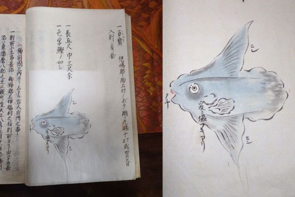 日本最古の「マンボウ」の絵。「備陽記(びようき)」(財団法人正宗文庫所蔵)の1ページ(左)とマンボウの絵を拡大した写真(右)