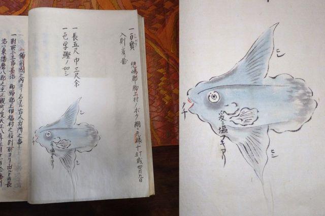 「備陽記(びようき)」(財団法人正宗文庫所蔵)の1ページ(左)とマンボウの絵を拡大した写真(右)。この絵がある「備陽記」は個人所蔵で、閲覧するためには岡山に行く必要がある。