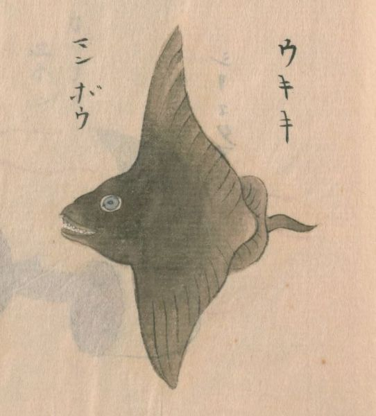 古文献で「マンボウ」として描かれていた絵。神田玄泉1741a『日東魚譜』巻五(写本作成年不詳)