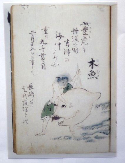 「まめなくさ」(西尾市岩瀬文庫所蔵)に描かれているヤリマンボウ。確かに舵びれに突出部があります。
