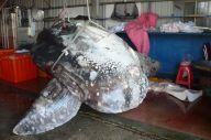 台湾・花連で漁獲された117kgの卵巣を持つ1380kgのウシマンボウ
