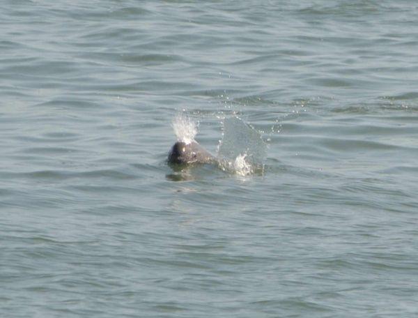 上崎美代子さんが撮影した関門海峡に生息するスナメリ。呼吸する瞬間をとらえ、しぶきが上がっている=2013年9月18日、山口県下関市、竹下美由姫さん提供