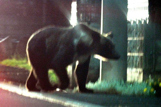 札幌市の住宅街に現れたクマ=2019年8月12日午後8時29分、札幌市南区の藤野地区、白井伸洋撮影