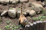 アカハナグマの「ヒカリ」。尻尾の模様がハートみたいです