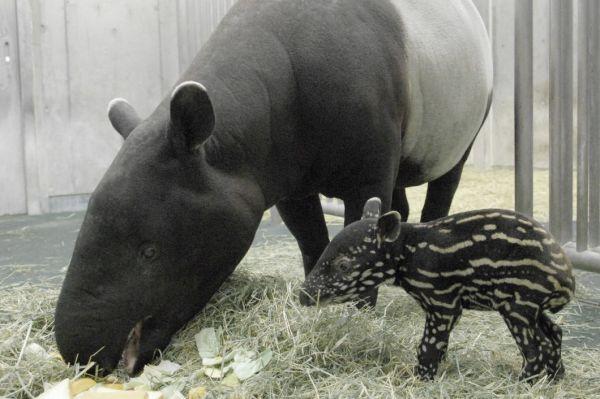 マレーバクの赤ちゃんの「咲子(サコ)」(右)。うり坊のようなまだら模様をしている。