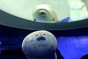どっちが本物? 海遊館「丸すぎるアザラシ」のクッションがそっくり