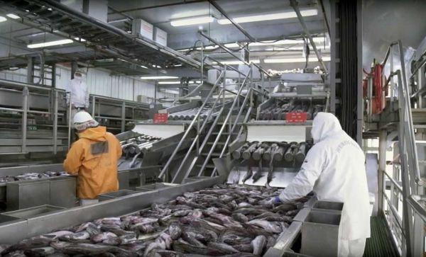 漁獲した魚の鮮度を保つために、漁港に隣接した工場ですぐ加工